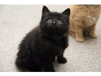 Extremely Fluffy gorgeous Black and Black and white kittens