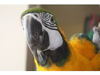 female blue and gold macaw parrot