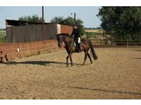 Stunning 7 year old 16.1hh TB Gelding Dressage/Showing Potential