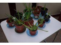 Aloe Vera Plants Ready for Good Home
