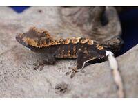 Various Unsexed Crested Geckos