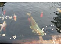 KOI AND GOLD FISH FOR SALE