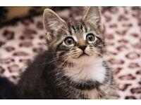 FemaleTabby kittens for sale