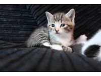 kittens 8 week old