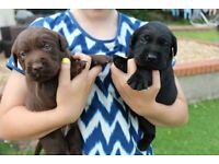 Labrador in Wales | Dogs & Puppies for Sale - Gumtree