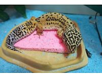 Leopard Gecko (Female adult)