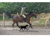 Joey Welsh cob for sale
