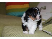 Yorkshire Terrier, Biewer