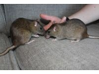 2 Female Rats, 6 months old