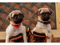 Two boy pug puppies
