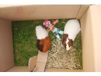 Two female guinea pigs need a good home