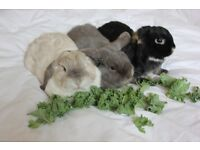 3 adult mini lops - free to suitable loving forever home