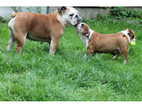 KC ENGLISH BULLDOG PUPPIES FOR SALE