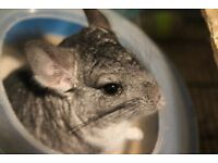 2 Lovely Chinchillas About 7 months old Complete with cage, bath and food