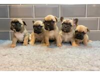 ⭐️🐶 KC Registered French Bulldog Puppies 🐶⭐️