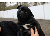 Male pug puppy left from stunning litter