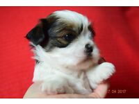 Stunning shih tzu puppies ONLY ONE BOY LEFT