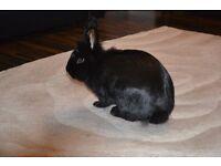 Black female rabbit