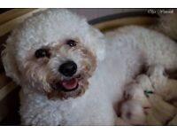 Bichon frise puppies 425£ available mid october