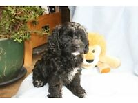 Gorgeous Cavapoo Pup - 8 weeks old