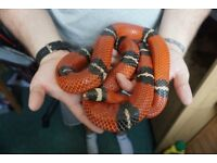 Male Sinaloan Milk Snake complete with great setup