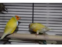 Gouldian finches all Split blue