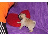 2 girls and 3 girls looking for new home. Adorable pug puppies