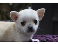 Two beautiful blonde pet Chihuahua for sale to good home