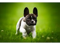 French bulldog KC reg puppy health and dna tested parents