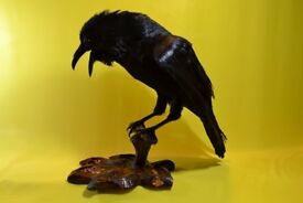 Raven . Real Taxidermy Rook