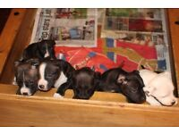 6x Staffordshire Bull Terrier Puppies *** Ready Now ***
