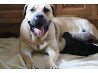Presa canario puppies for sale from great BLOODLINES!!