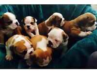 British Bulldog Litter