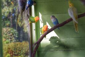 Pair of Fischer Lovebirds