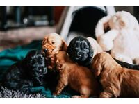 One KC Registered Cocker Spaniel puppy left!