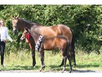 Working Pupil - Godington Stud - Trakehner Stud/Competition yard - 4 miles NW of Bicester.
