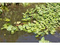 Free pond plants - Veronica Beccabunga (Brooklime)