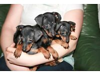 wonderful miniature pinscher puppies. Full vaccinations. 13 weeks now.