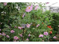 Dahlia Species Merckii very Hardy Large 10 Litre Plants For Sale.