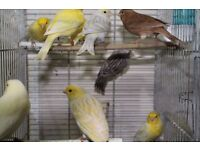 Canary birds many type and colour single & pair bird