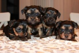Adorable Female Puppies For Sale!!!!
