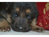 Outstanding, Show line German Shepherd Puppies