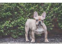 Beautiful French Bull Dog
