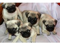 Pure Pug Pups for sale