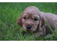 Cocker Spaniel Pups /puppy / puppies