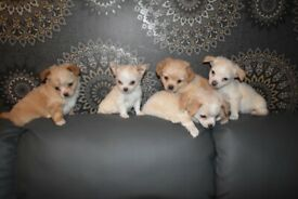 4 adorable mix breed chihuahua puppies