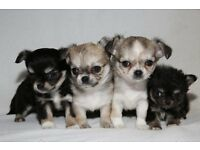 KC Reg Chihuahua Puppy's