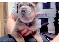KC Sharpei Ready to leave now !!!