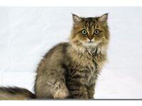 5 month old female golden Chinchilla Persian kitten
