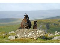 Moor Pony Resources are Looking for Fundraising Volunteers..